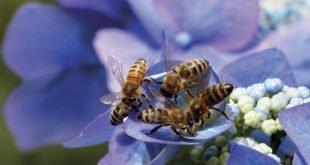 Bienensterben - Bienenfreundliche Gärten anlegen