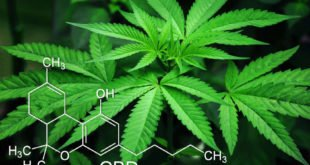 Drogerieprodukt Cannabis - Otto setzt auf Hanf
