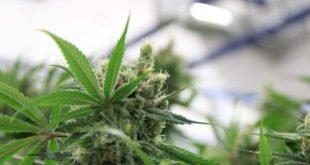 Cannabis - Fluch oder Segen für Apotheken