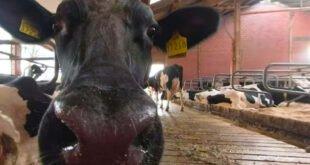 Mit 360-Grad-Clips durch den Kuhstall