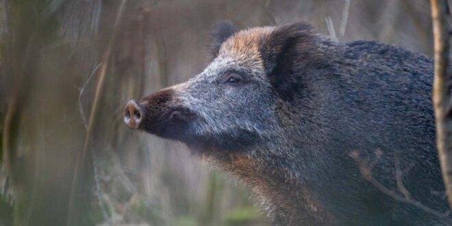 2,4 Millionen Wildschweine in Deutschland