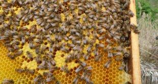 Heißer Honig - Die Bienen und der Klimawandel
